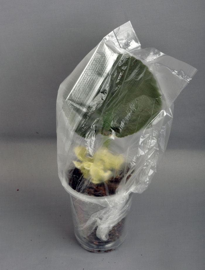 Пестролистные сорта фиалок, размножение