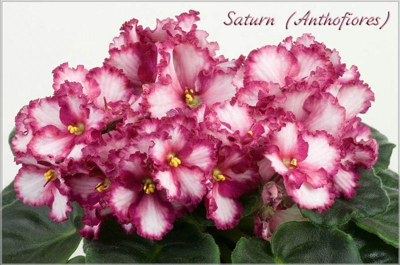 saturn фото фиалка